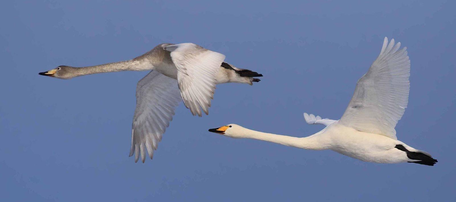 Sångsvanar är en av de fåglar Roland Olsson helst fotograferar.
