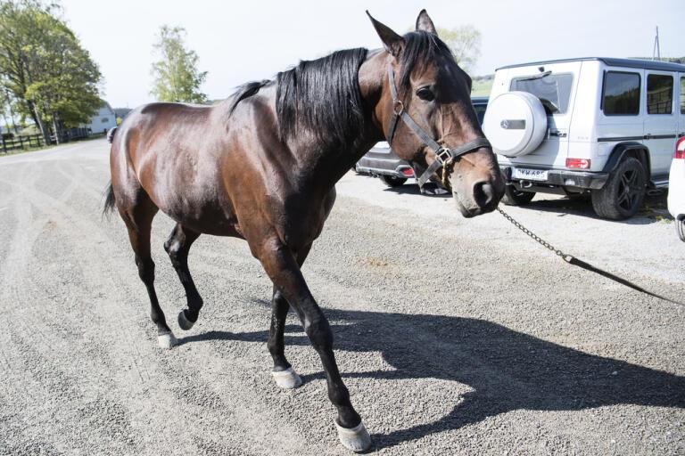 Hästen Propulsion är klar för Elitloppet för femte gången. Arkivbild.
