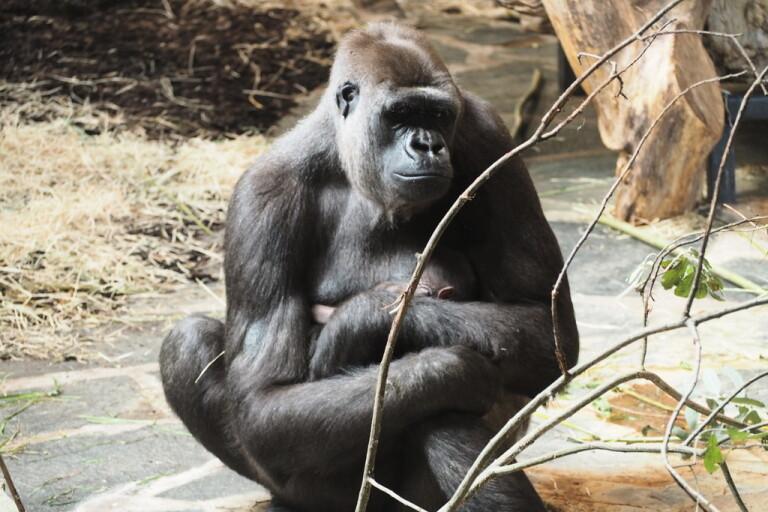 Gorillahonan Kiburi tog snabbt till sig ungen som kom i gång med diandet.