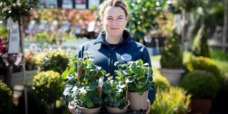 Frida Sjöholm på Ljungsleds Plantskola säger att det är populärt att plantera jordgubbar i balkonglådan.