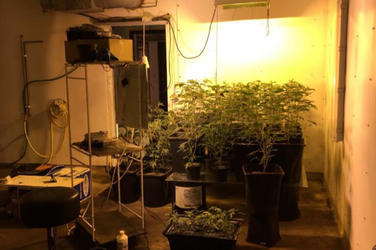 Man misstänks ha odlat minst 60 kilo cannabis